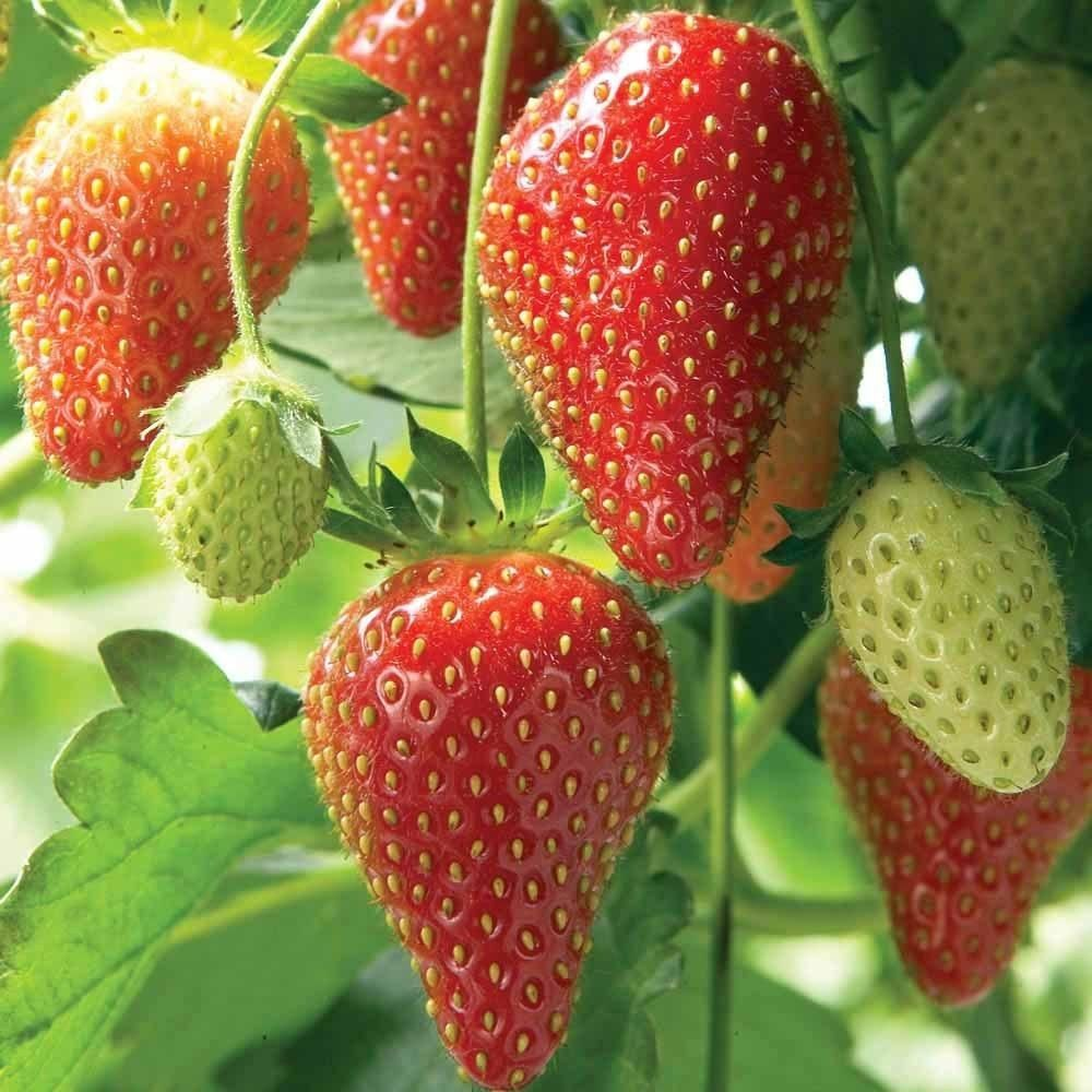 Strawberry Seeds Fragaria Ananassa Bright Red Fruit Has Great Flavor Organic Seeds Perennial Strawberry Plants Strawberry Seed Everbearing Strawberries