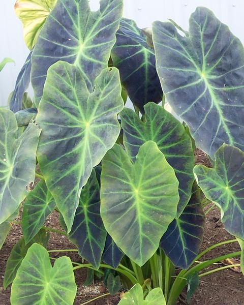 Colocasia Illustris #elephantearsandtropicals