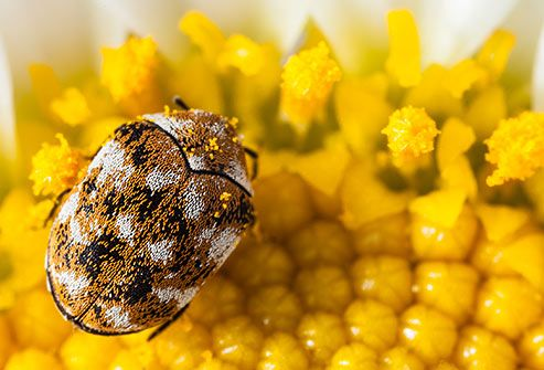 Carpet Beetle They Re The Most Common Insect In The World And Probably In Your Home Carpet Beetles Are Known To N How To Introduce Yourself Beetle Critter