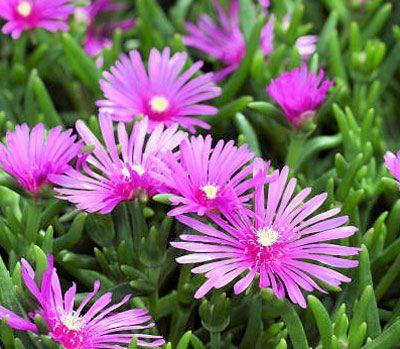 Suculentas y crasas- Info cuidados y fichas de plantas   Plantas ...