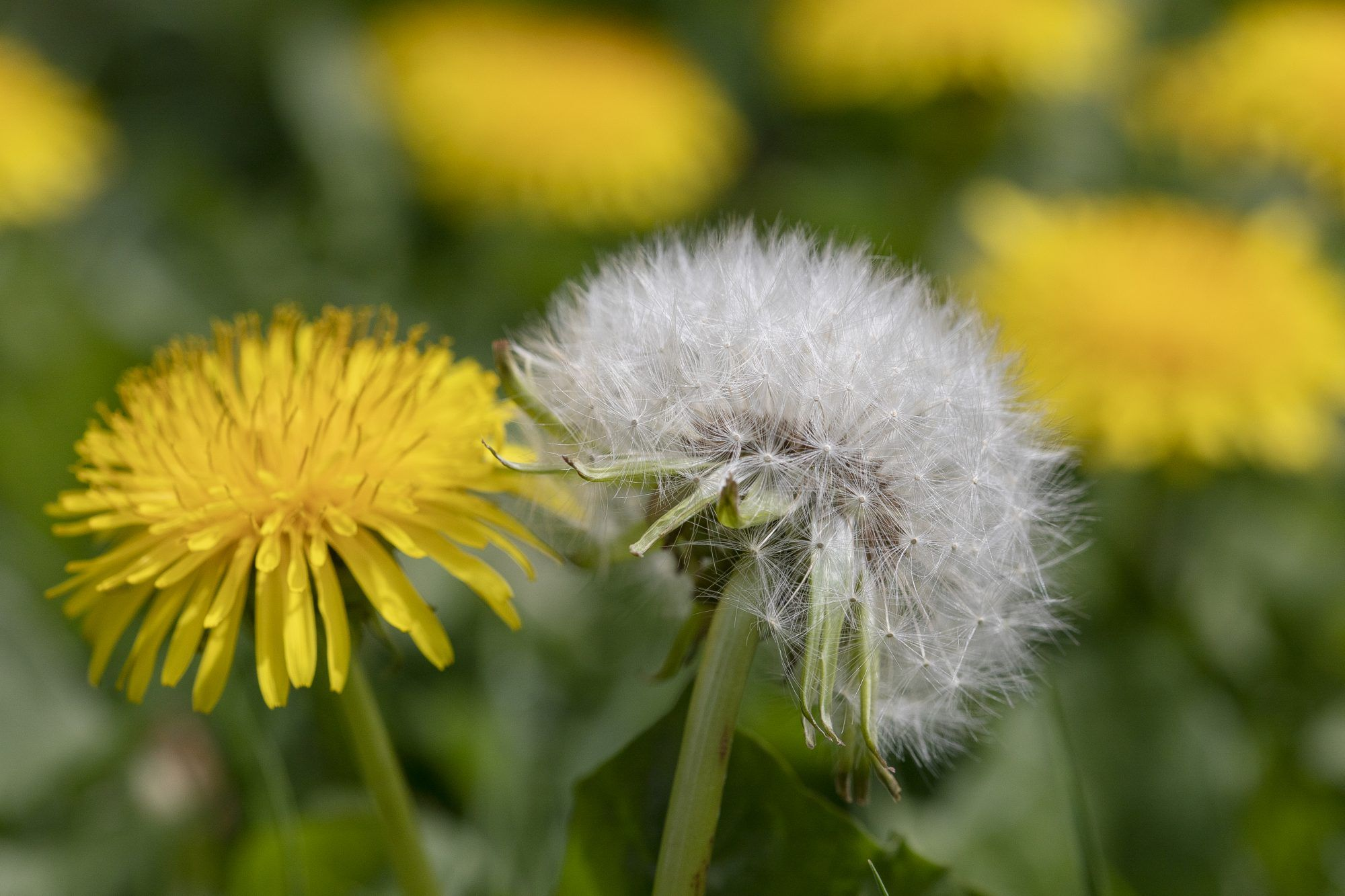 Everything You Ever Wanted To Know About Dandelions In 2020 Dandelion Flowers Dandelion Flower