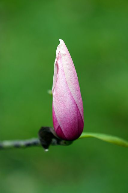 Magnolia bud by Martin in Twickenham, via Flickr