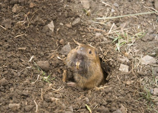How To Get Rid Of Burrowing Animals In Your Yard Mother Earth News Get Rid Of Groundhogs Get Rid Of Squirrels Garden Pests