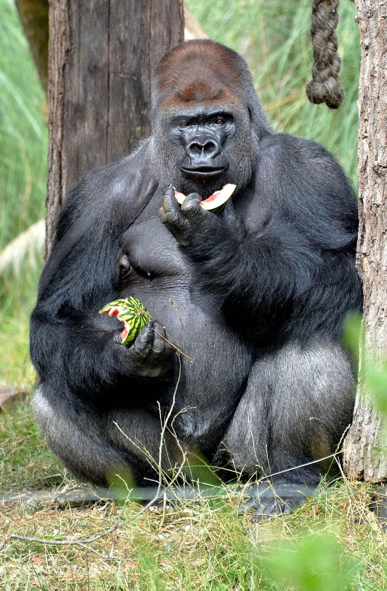 Et quand il s 39 agit des mains du papa gorille la past que - Quand cueillir un melon ...