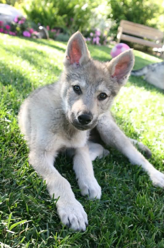 Czechoslovakian Wolfdog Puppies Google Search Wolf Dog Dogs