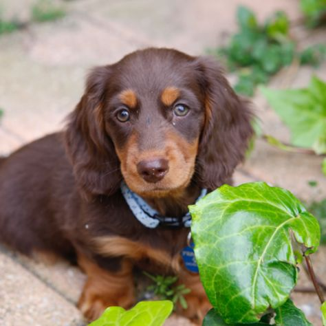 Mini Dachshund Puppies Dachshund Mini Puppy For Sale For