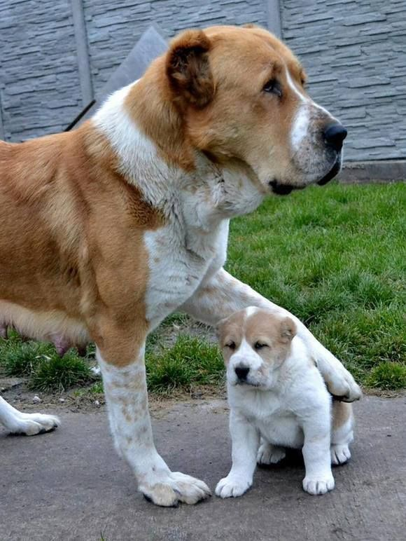 German Shepherd Puppy Growing Up 8 Weeks 1 Year German