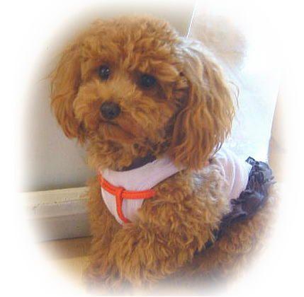 Toy Poodle Styles Teddy Bear Clip Toy Poodle Haircut Teddy