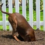 #dogs dig for many different reasons...here are some tips to help train your #dog from digging.  If these don't work, shopforpaws.com carries products to correct behavior in your #dog http://shopforpaws.com/Training-Behavior/correct-behavior