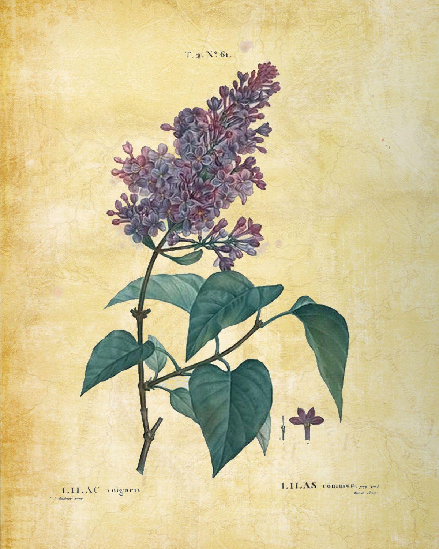 Botanical Print Botanical Prints Free Botanical Prints Botanical Illustration