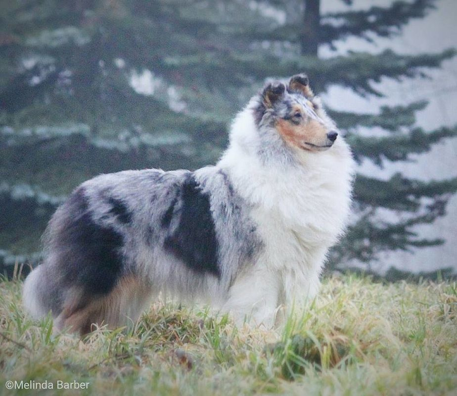 Our Girls Tallywood Collies Rough Collie Sheltie Dogs Blue