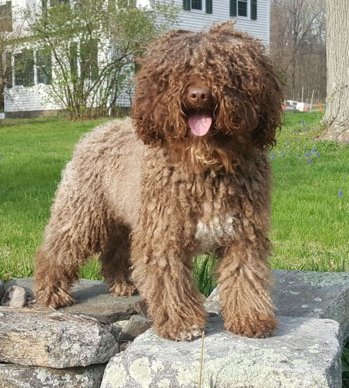 SWD Litters Water dog, Cavachon puppies, Cute