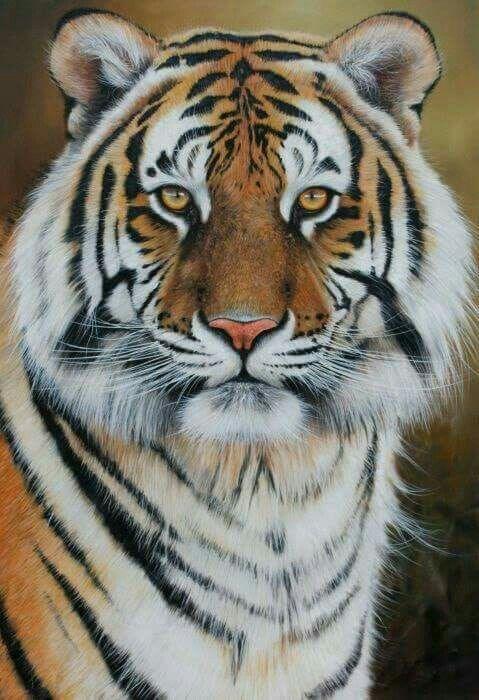 Pin Von Jens Muller Auf Tier Wilde Tiere Wilde Katzen Tiger Fotografie