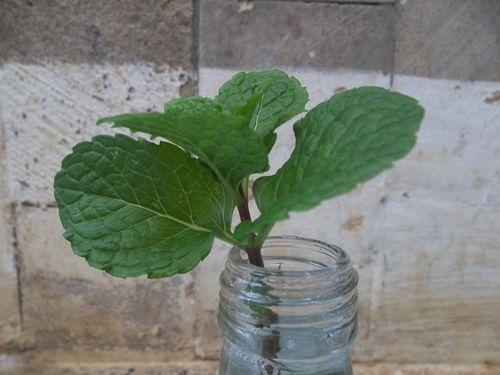 Grow Mint Indoor Growing Herbs Indoors Herbs Indoors Growing Herbs