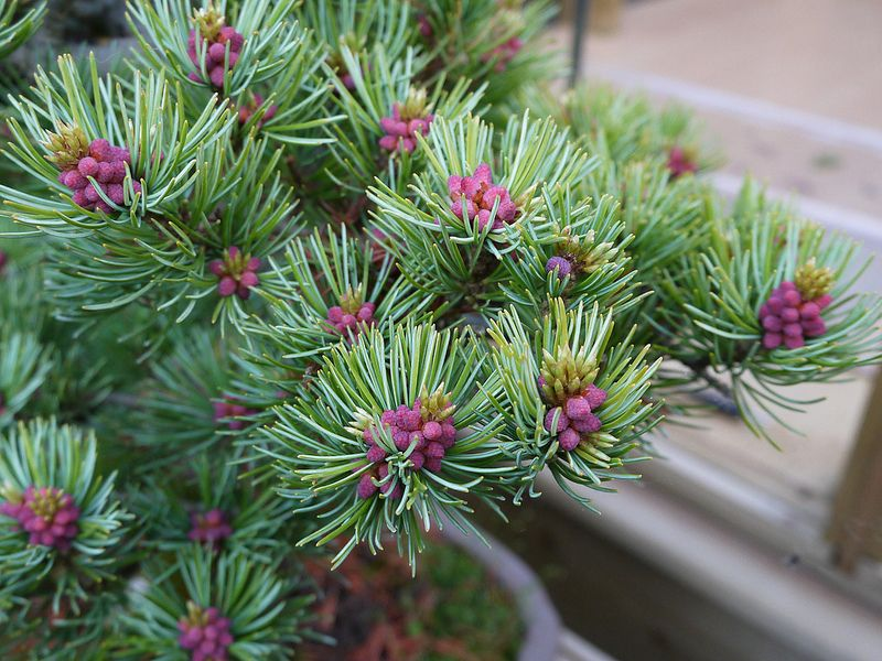 Japanese white pine flower buds Çiçek