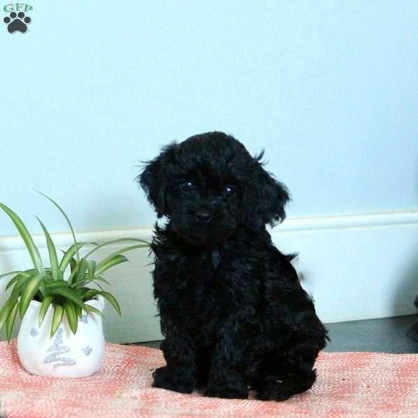 Tawny Cavapoo Puppy For Sale in Pennsylvania Cavapoo
