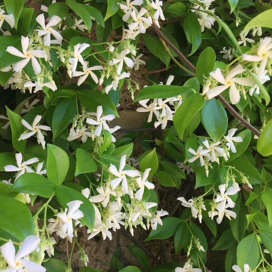 I Love This Time Of Year Because The Air Is Filled With Jasmine I
