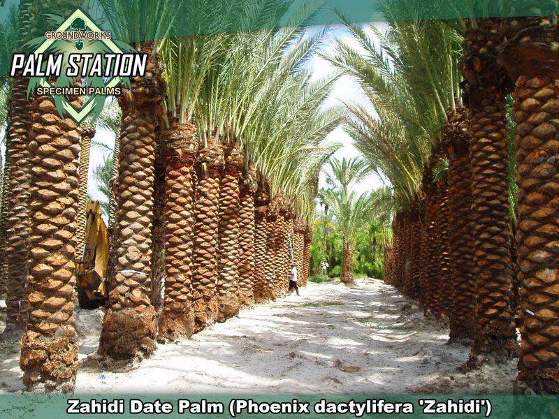 Groundworks Zahidi Date Palm Date Palm Japanese Garden Palm