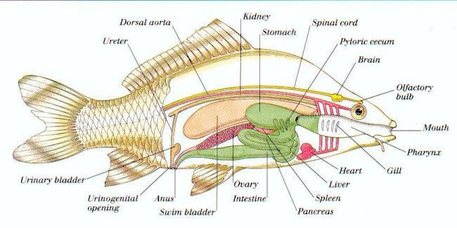 perch dissection worksheet - Google Search | Science | Pinterest ...
