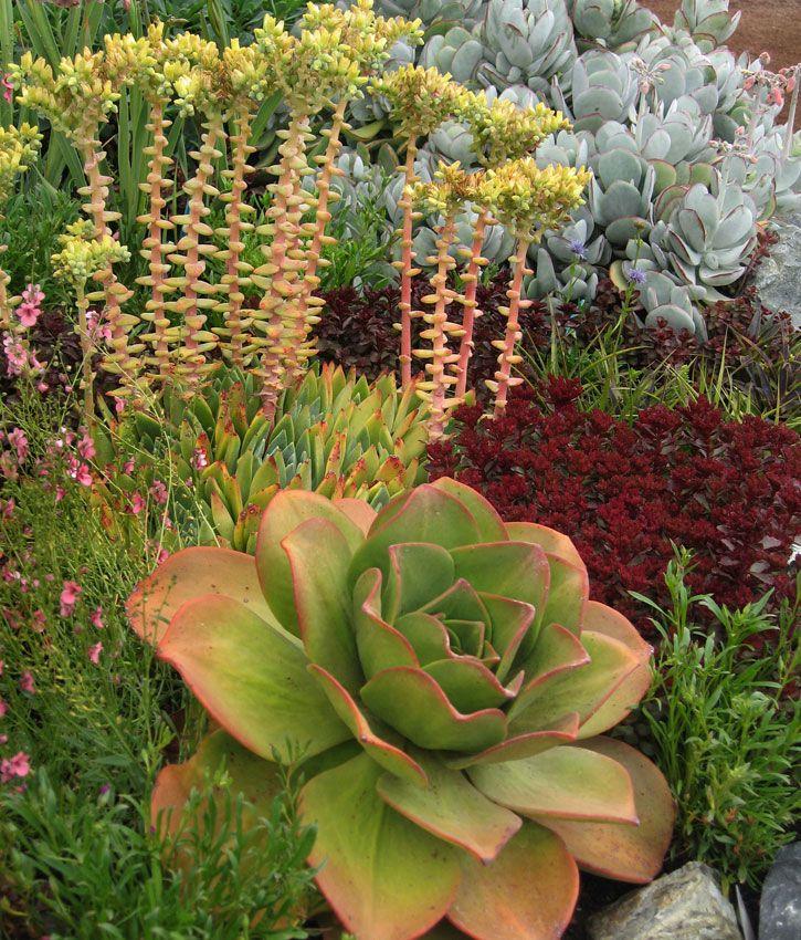 Aeonium Nobile Flowering Succulents Succulents Planting Succulents