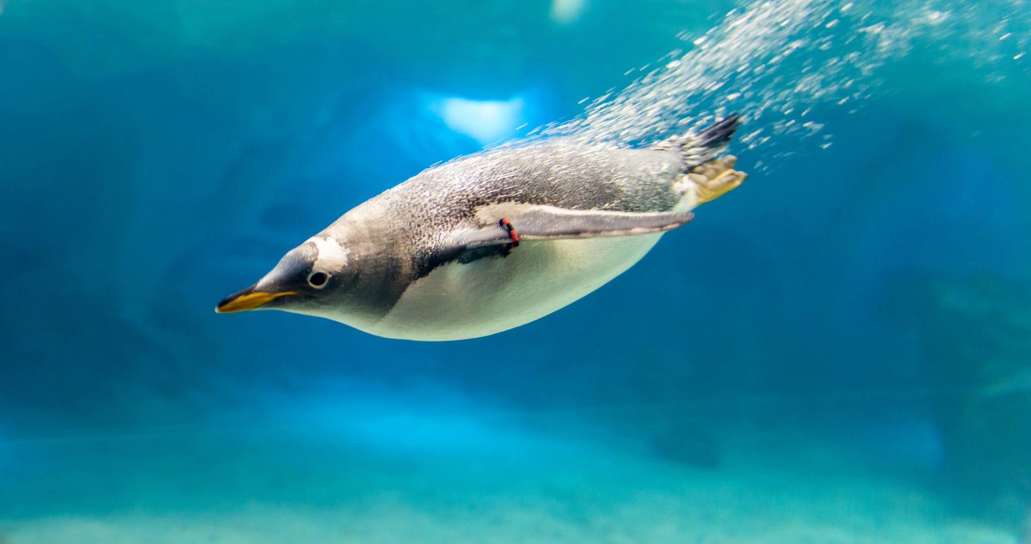 Penguin In Water 4k Ultra Hd Wallpaper Ololoshenka Penguins