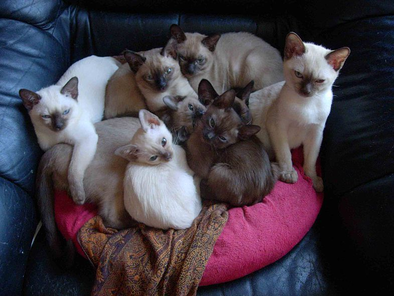 Pinned From Http Www Pawsitesonline Com Tonkinese Cats Tonkinese Kittens Tonkinese Cat Tonkinese Kittens For Sale