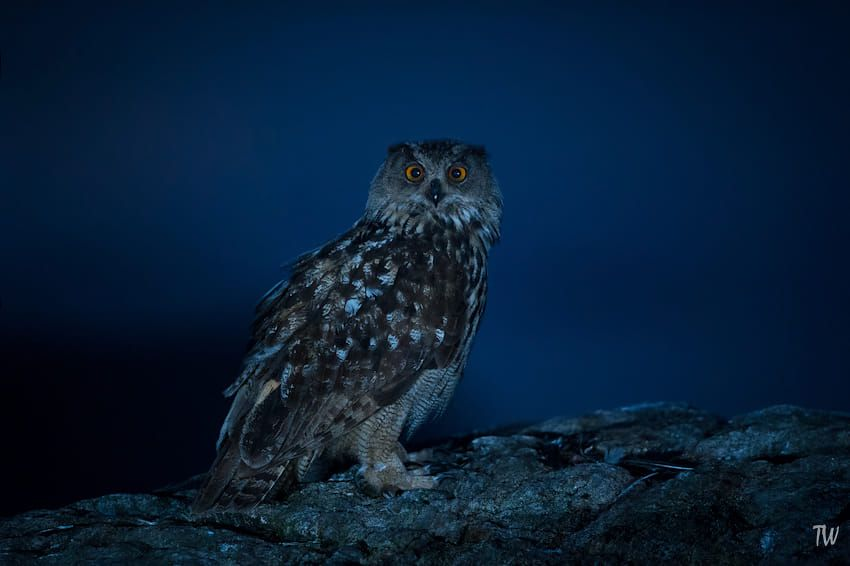 Eagle owl at night by Trond Westby on 500px