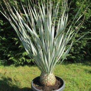 plantes grasses 50 graines de Yucca torreyi plantes grasses graines C cactus