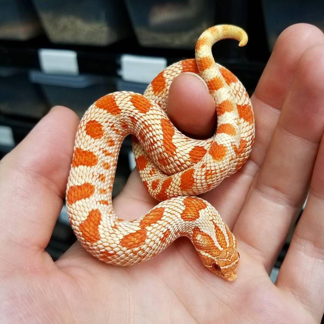 Red Albino Conda Western Hognose Cute Reptiles Cute Snake Pretty Animals