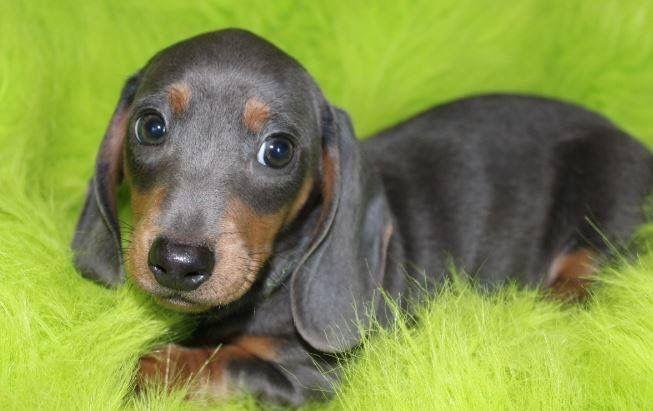 Just A Cute Little Face Dachshund Puppy Miniature