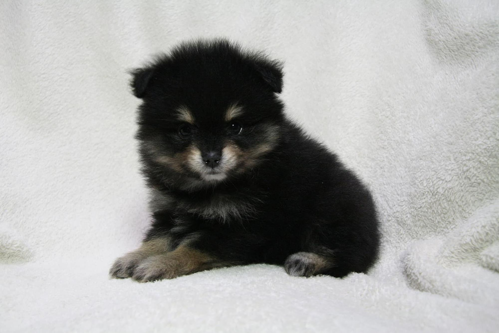 baby pomeranians for every minute of your lunch break