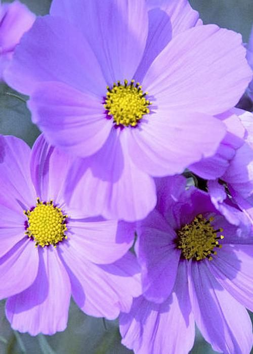 Purple Cosmos Greeting Card For Sale By Patrick Kessler Cosmos Flowers Lovely Lavender Beautiful Flowers