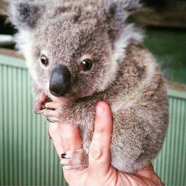 A Handful Of Cuteness Koalas Pinterest Cute Animals Animals