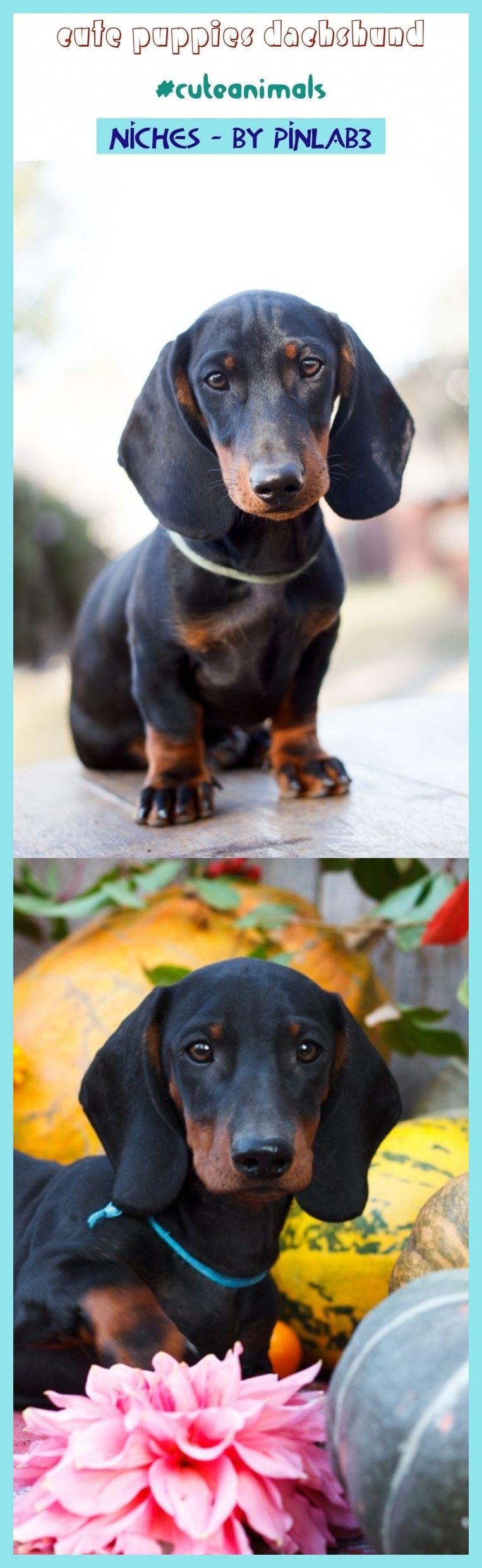 Cute Puppies Dachshund Puppies Dachshund Susse Welpen Dackel