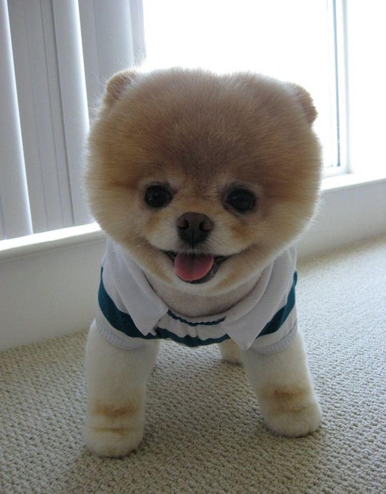 Meet Boo – The World's Cutest Dog