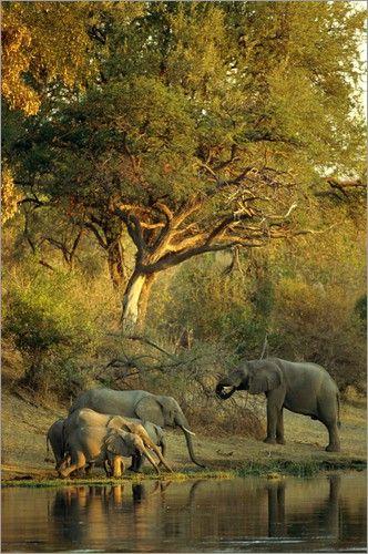 Beverly Joubert Afrikanische Elefanten Trinken Aus Einem