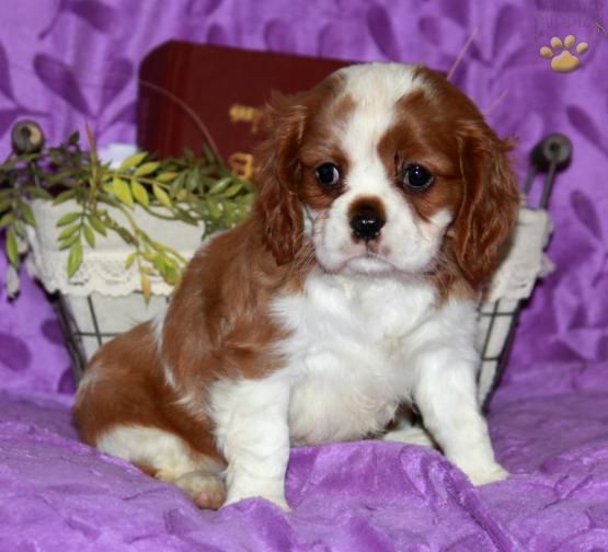 Patty Cavalier King Charles Spaniel Puppy For Sale In Bird In Hand Pa King Charles Cavalier Spaniel Puppy King Charles Dog Cavalier King Charles Dog