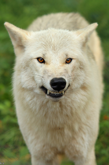 wolf pack gif | White Wolf Growling | A. ( Faceclaims ...