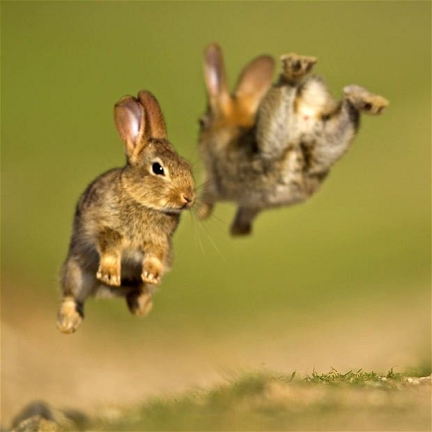 Baby rabbits play in the English countryside, Wiltshire