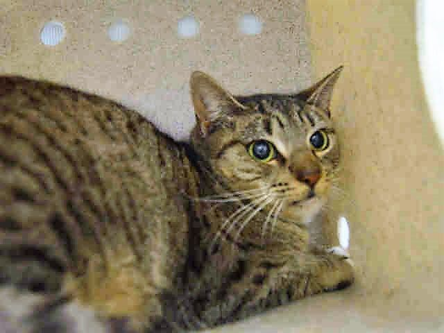 SHEEDLE - A1098663 - - Brooklyn  Please Share:***TO BE DESTROYED 12/09/16***ONE YEAR OLD…HEALTHY…SCARED… -  Click for info & Current Status: http://nyccats.urgentpodr.org/sheedle-a1098663/