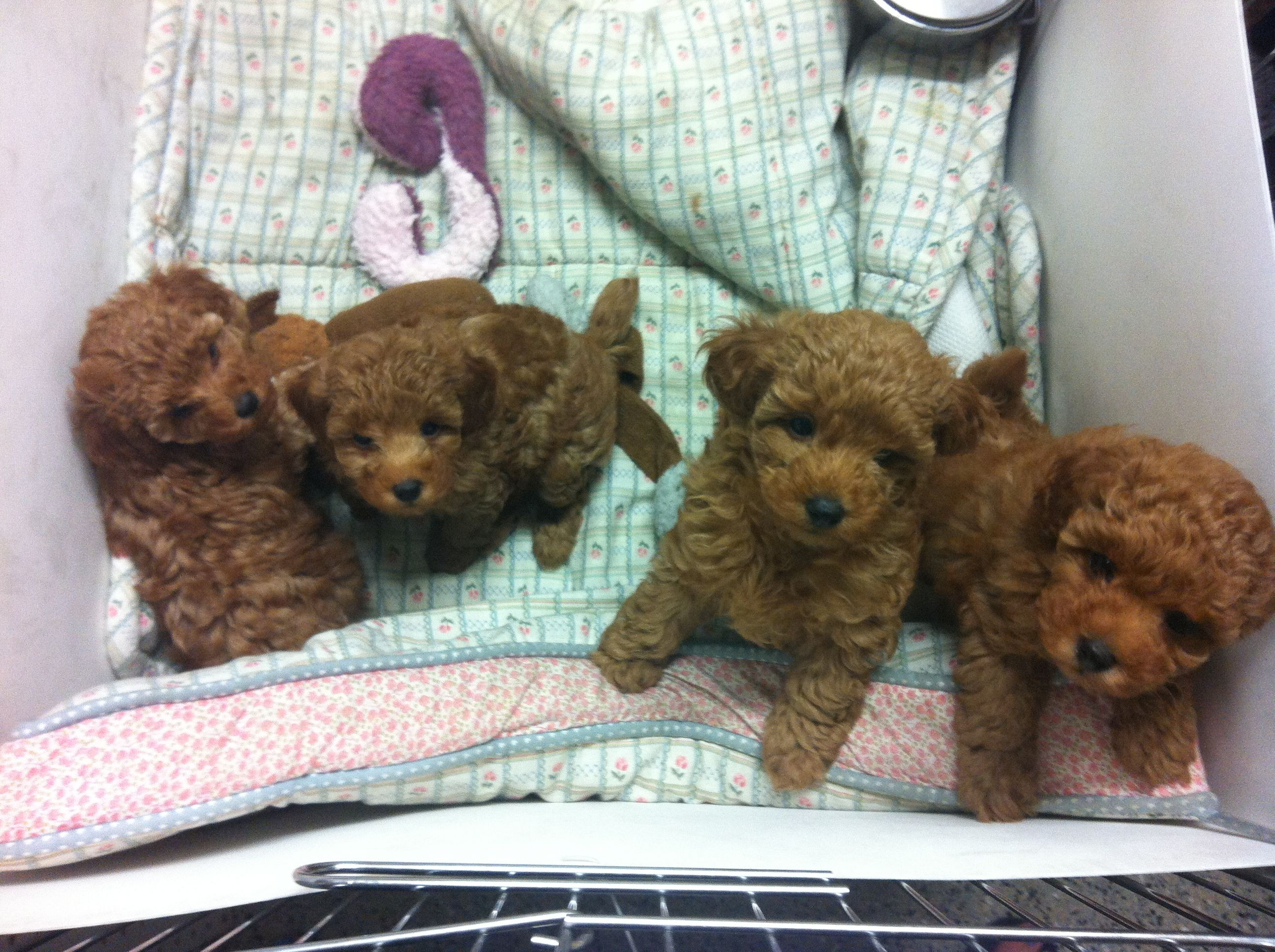 Litter Of Red Poodle Puppies Poodle Puppy Red Poodle Puppy