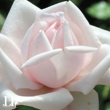 New Dawn Climbing Roses Heirloom