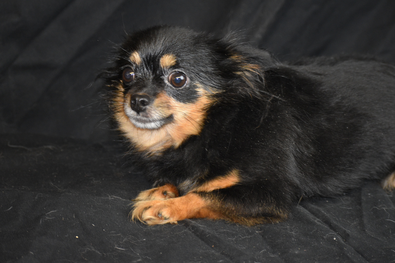 Adopt Black Pepper Adoption Pending On Chihuahuas For Adoption