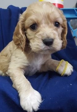 Litter Of 8 Cocker Spaniel Puppies For Sale In Springfield Ma Adn