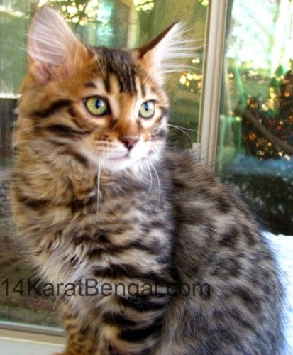 14karatbengal Traditional And Cashmere Bengal Cat Cattery Yavapai County Arizona 86326 Bengal Kitten Bengal Cat Kittens