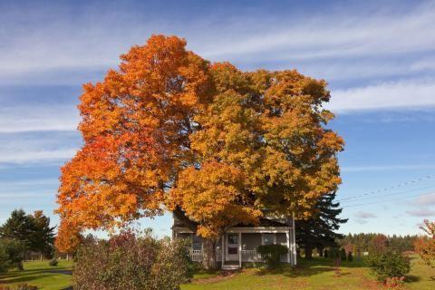 Im Herbst verfärben sich die Blätter an den Bäumen von Nova Scotia in ein buntes…