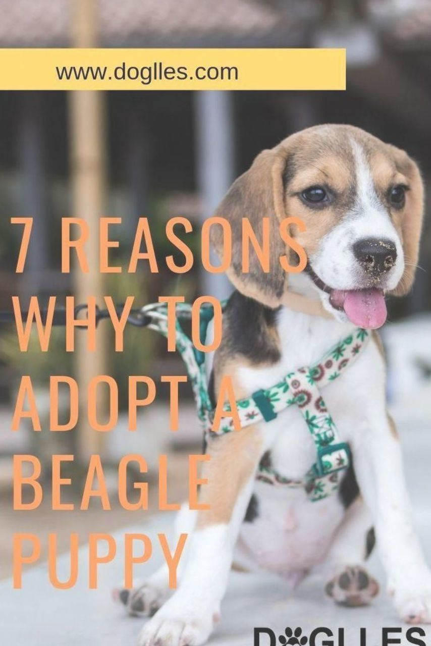 Looking For Dog Adoption You Must Give A Thought About Beagle