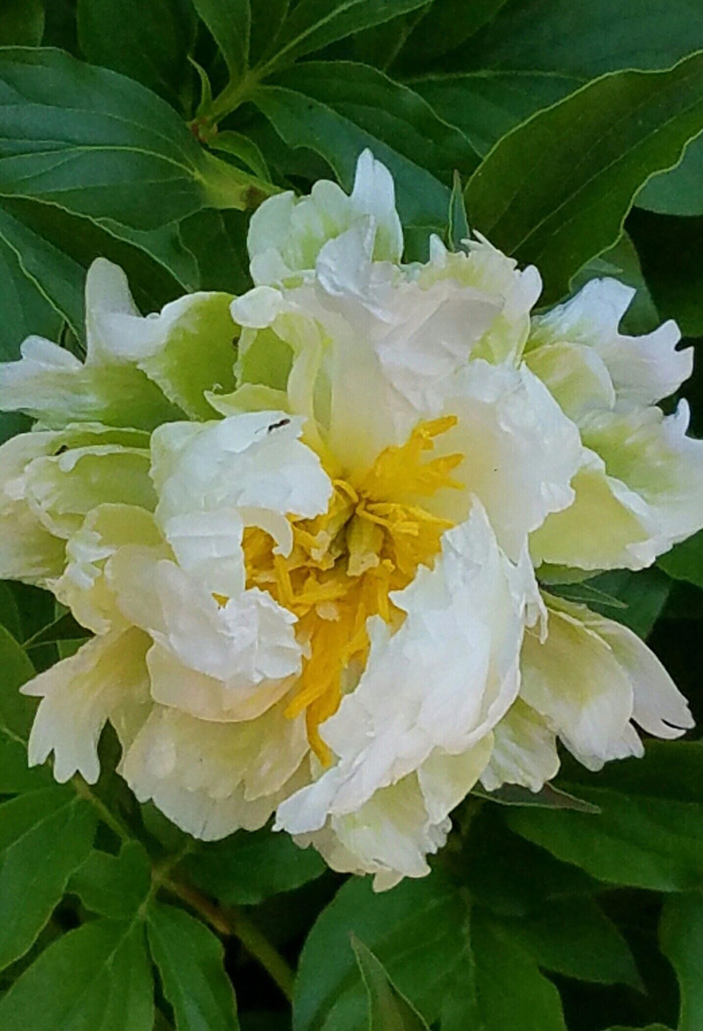 Green Halo You Don T See Very Many Green Peonies So This Is Special Peonies Flower Painting Growing Peonies Peony Painting