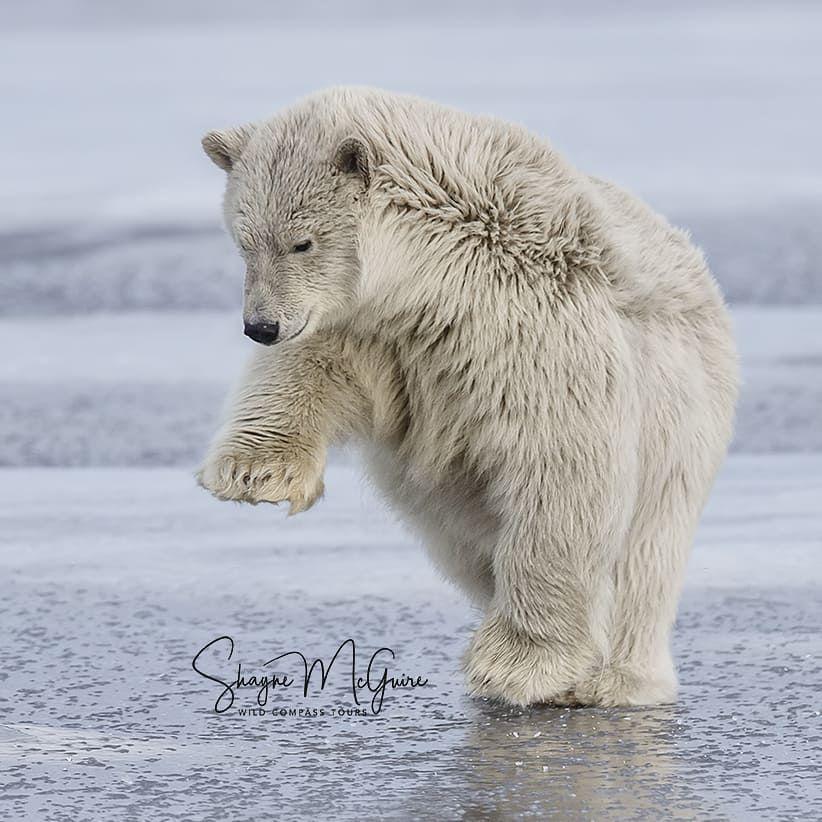 Banging a bear