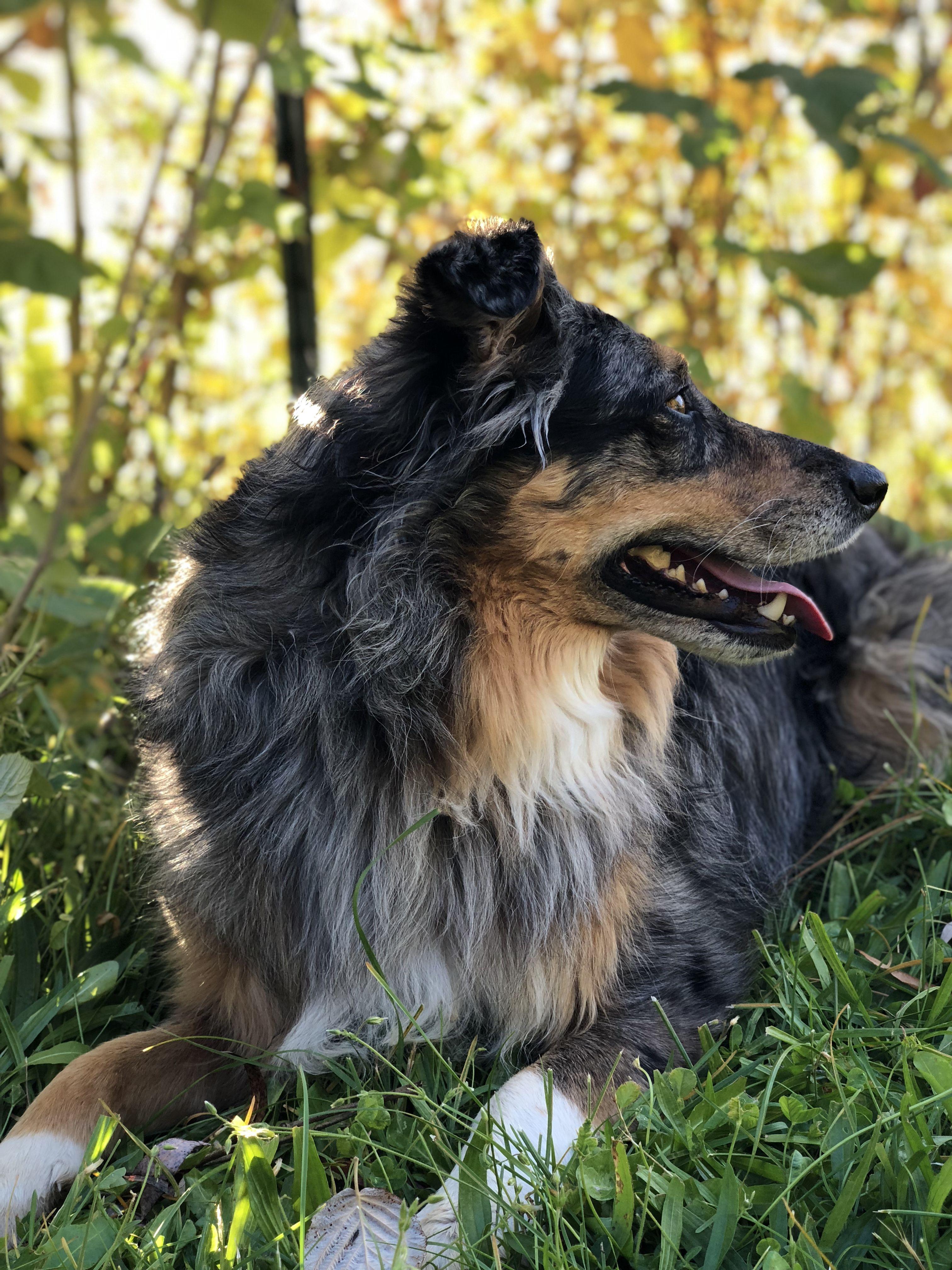 Instagram sadiegirlaussie Australian shepherd, Dogs